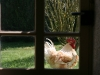 A visit from next door's chickens is common.